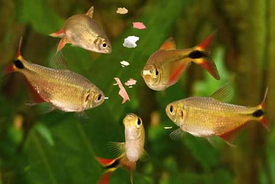 Alimentar os peixes dos vários nível do aquário