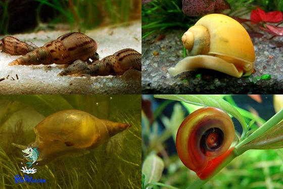 Os caracóis de aquário serão úteis ou não?