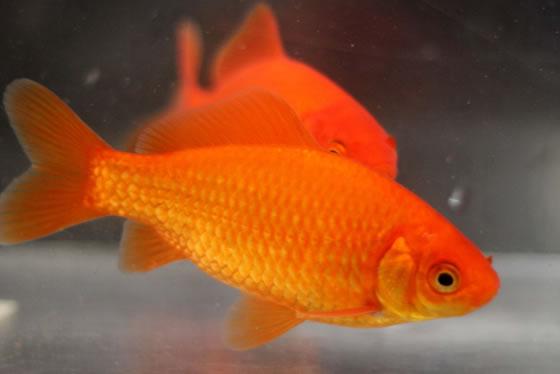 Os Carassius auratus , também conhecidos como Kinguios ou Peixe-dourado